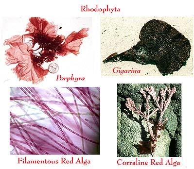 PhylumRhodophyta
